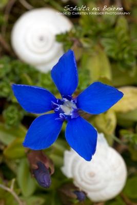 Spring Gentian (Gentiana verna)