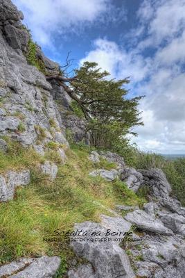 Cliff Yews, The Burren
