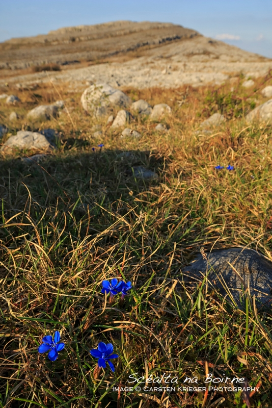 Spring Gentian, The Burren, County Clare, Ireland