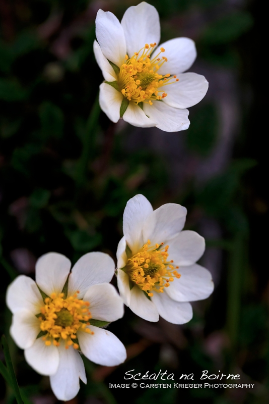 Mountain Avens, The Burren, County Clare, Ireland