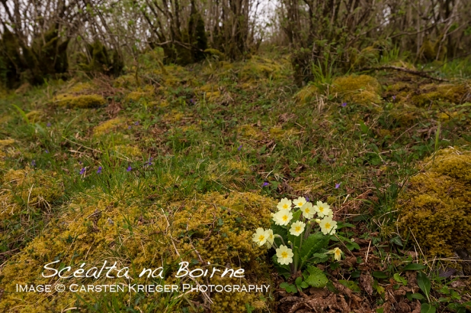 Primrose, The Burren, County Clare, Ireland