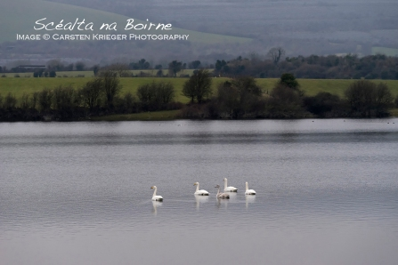 Whooper Swans, Winter 2015