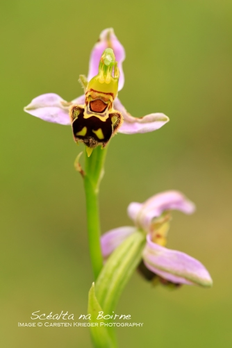 Bee Orchid, The Burren, County Clare, Ireland
