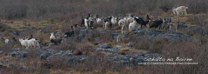 Feral Goats (Capra Hircus)
