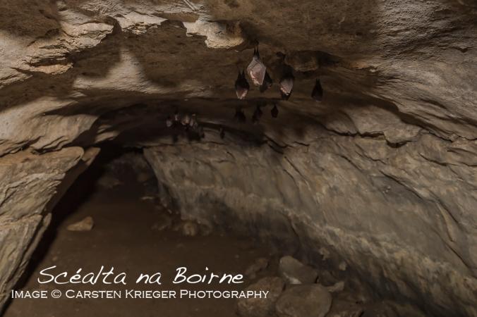 Lesser Horseshoe Bat (Rhinolophus hipposiderus)