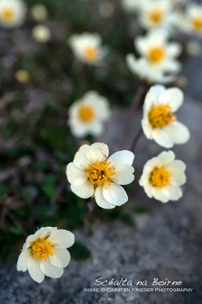 Mountain Avens (Dryas octopetala)